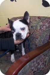 Boston Terrier Dog for adoption in Crawfordville, Florida - Rainey
