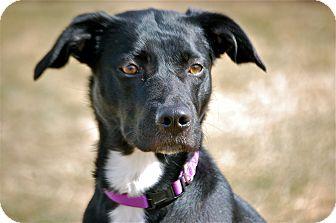 Labrador Retriever/Border Collie Mix Dog for adoption in Meridian, Idaho - Mandy