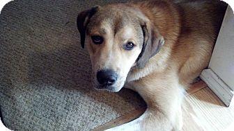 Anatolian Shepherd/Great Pyrenees Mix Puppy for adoption in Cincinnati, Ohio - Zeus