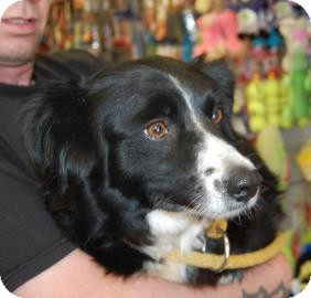 Collie Mix Dog for adoption in Brooklyn, New York - Sassy