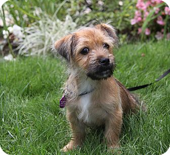 Border Terrier Mix Puppy for adoption in Newport Beach, California - CHIP