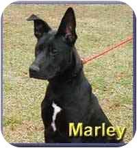 Labrador Retriever Mix Dog for adoption in Aldie, Virginia - Marley