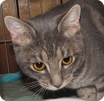 Domestic Shorthair Cat for adoption in Walden, New York - Padme
