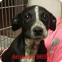 Adopt A Pet :: Amanda - Greencastle, NC