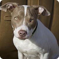 Adopt A Pet :: Hazel - Des Peres, MO