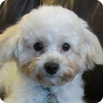 Bichon Frise Mix Puppy for adoption in La Costa, California - Joey