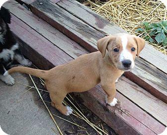 Beagle/Sheltie, Shetland Sheepdog Mix Puppy for adoption in Breinigsville, Pennsylvania - Stella