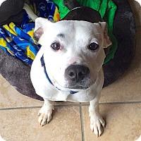 Adopt A Pet :: Pal - Reisterstown, MD