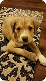 American Bulldog/Boxer Mix Puppy for adoption in Goodyear, Arizona - Indi