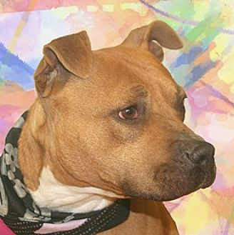 Labrador Retriever/Pit Bull Terrier Mix Dog for adoption in Cincinnati, Ohio - Callie