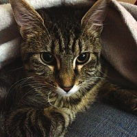 Domestic Shorthair Cat for adoption in St. Louis, Missouri - Lily