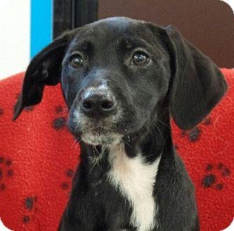 Beagle/Labrador Retriever Mix Puppy for adoption in Allentown, Pennsylvania - Missy