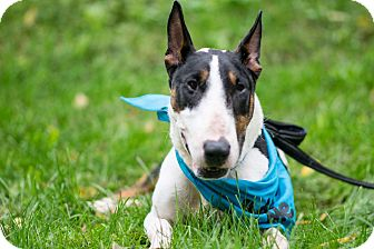 Bull Terrier Mix Dog for adoption in South Park, Pennsylvania - Shamrock