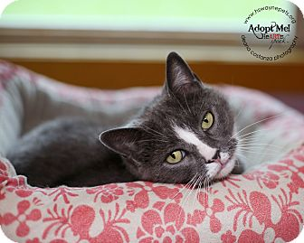 Domestic Shorthair Cat for adoption in Lyons, New York - Dina