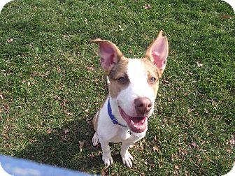 Terrier (Unknown Type, Medium) Mix Dog for adoption in Chambersburg, Pennsylvania - Jack