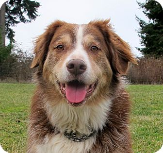 Australian Shepherd Mix Dog for adoption in Eastsound, Washington - Cappu
