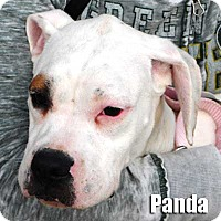 Adopt A Pet :: Panda - Encino, CA