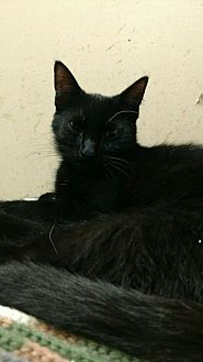 Domestic Longhair Cat for adoption in Saginaw, Michigan - Roger
