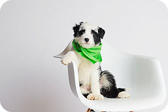 Australian Shepherd/Border Collie Mix Puppy for adoption in Ogden, Utah - Oberyn