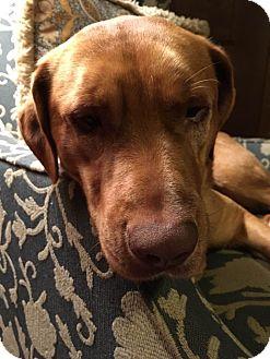Vizsla Mix Dog for adoption in Roswell, Georgia - Pete