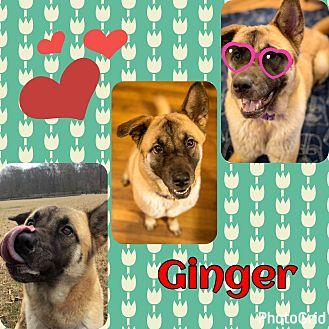 German Shepherd Dog/Akita Mix Dog for adoption in Chicago, Illinois - Ginger