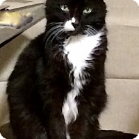 Adopt A Pet :: Jackson *front declawed* - Verona, WI