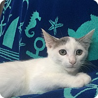 Domestic Shorthair Kitten for adoption in Richmond, Virginia - Inga