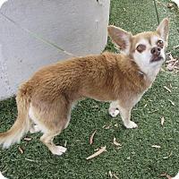 Adopt A Pet :: Begonia - Oakland, CA