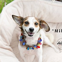 Adopt A Pet :: MILLIE - Inland Empire, CA
