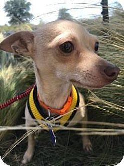 Chihuahua Mix Dog for adoption in San Antonio, Texas - Avril