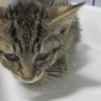 Domestic Shorthair/Domestic Shorthair Mix Cat for adoption in Wantagh, New York - Lawrence