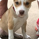 Adopt A Pet :: Babe Vixen