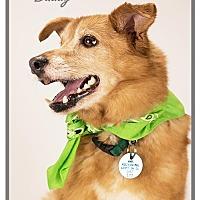 Adopt A Pet :: Buddy - Kirkland, QC
