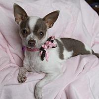 Adopt A Pet :: CHANEL - Newport Beach, CA