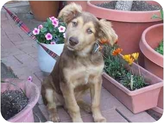 Labrador Retriever Mix Puppy for adoption in Poway, California - Pepe