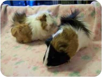 Guinea Pig for adoption in Lewisville, Texas - Sandy