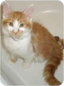 Domestic Longhair Kitten for adoption in Medford, Massachusetts - Terracotta