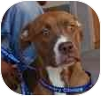 Staffordshire Bull Terrier/Boxer Mix Puppy for adoption in Sacramento, California - Rachel