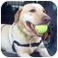 Photo 1 - Labrador Retriever Dog for adoption in Brooklyn, New York - Norma Jean