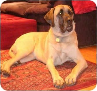 English Mastiff Dog for adoption in Portland, Oregon - Millie
