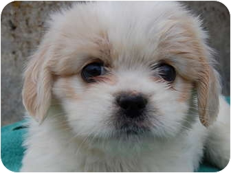 Shih Tzu Mix Puppy for adoption in North Judson, Indiana - Taffy