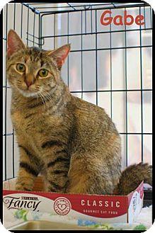 Domestic Shorthair Cat for adoption in Merrifield, Virginia - Gabe