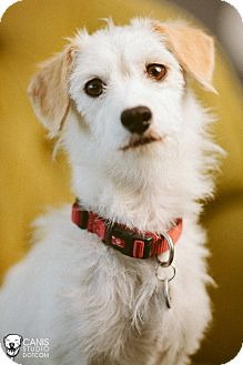 Jack Russell Terrier/Dachshund Mix Dog for adoption in Portland, Oregon - Scarlet
