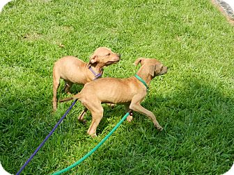 Italian Greyhound Mix Puppy for adoption in South Jersey, New Jersey - Toad