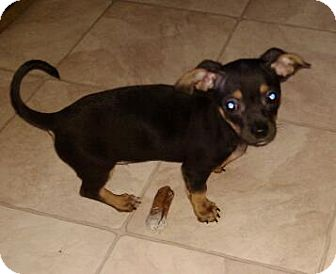 Chihuahua/Dachshund Mix Puppy for adoption in Hilliard, Ohio - Dexter