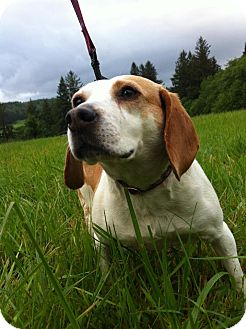 Beagle Dog for adoption in Tillamook, Oregon - Stella