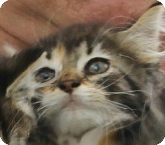 Domestic Mediumhair Kitten for adoption in Lexington, Missouri - calico kittens