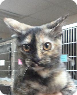 Domestic Shorthair Kitten for adoption in St. Petersburg, Florida - Brownie