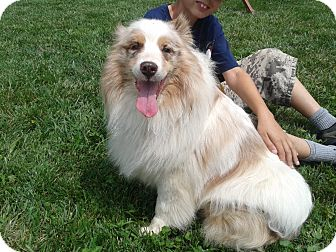 Australian Shepherd Dog for adoption in Welland, Ontario - Izzy