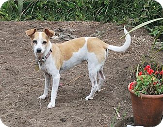 Jack Russell Terrier/Parson Russell Terrier Mix Dog for adoption in San Francisco, California - Bonnie
